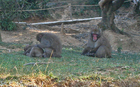 Monkeys on the grass